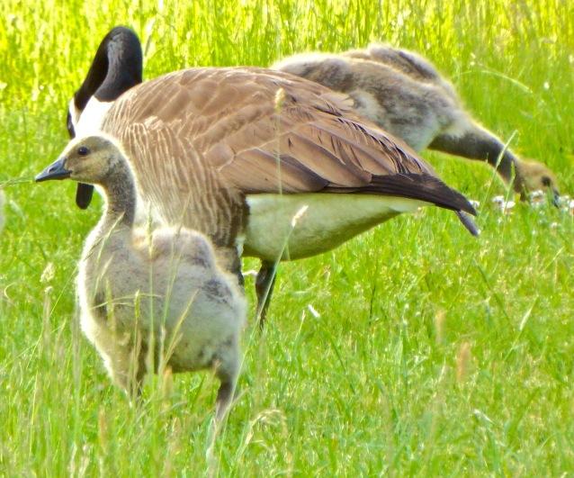 Best Geese