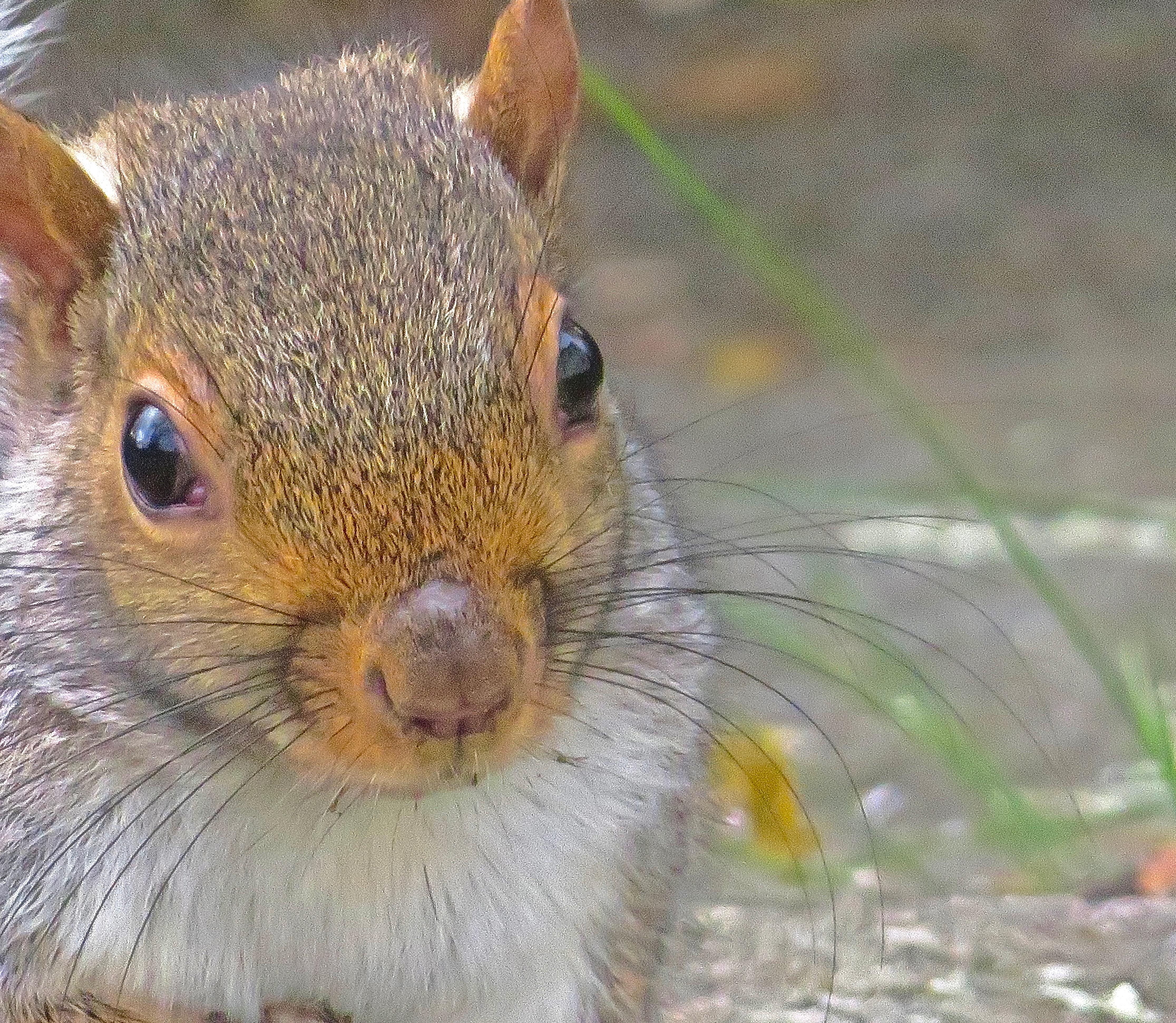 _squirrel close