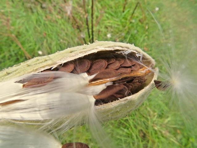 bursting milkweed
