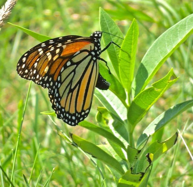 Monarh Butterfly on Milkweed Plant