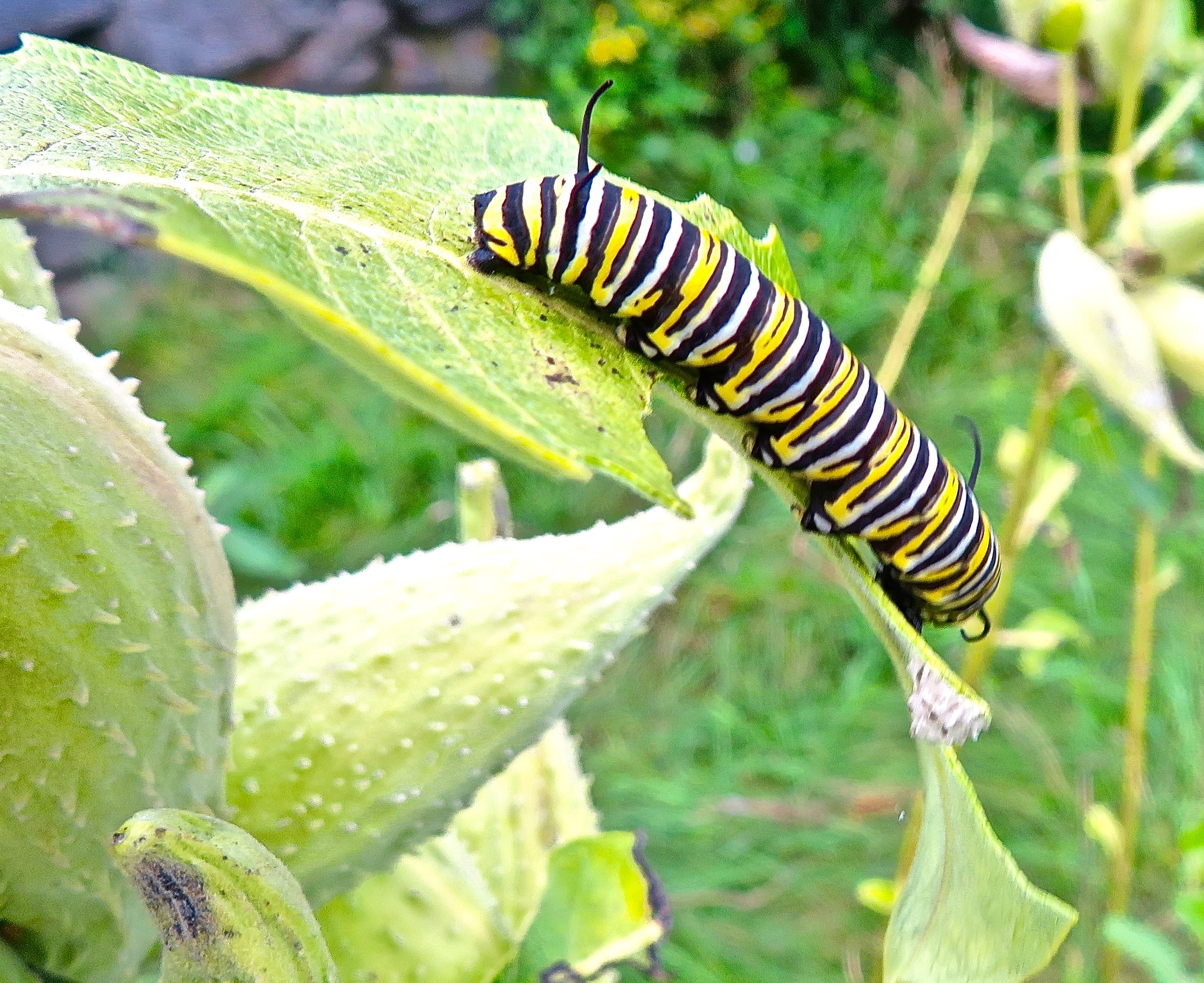 monarch eating