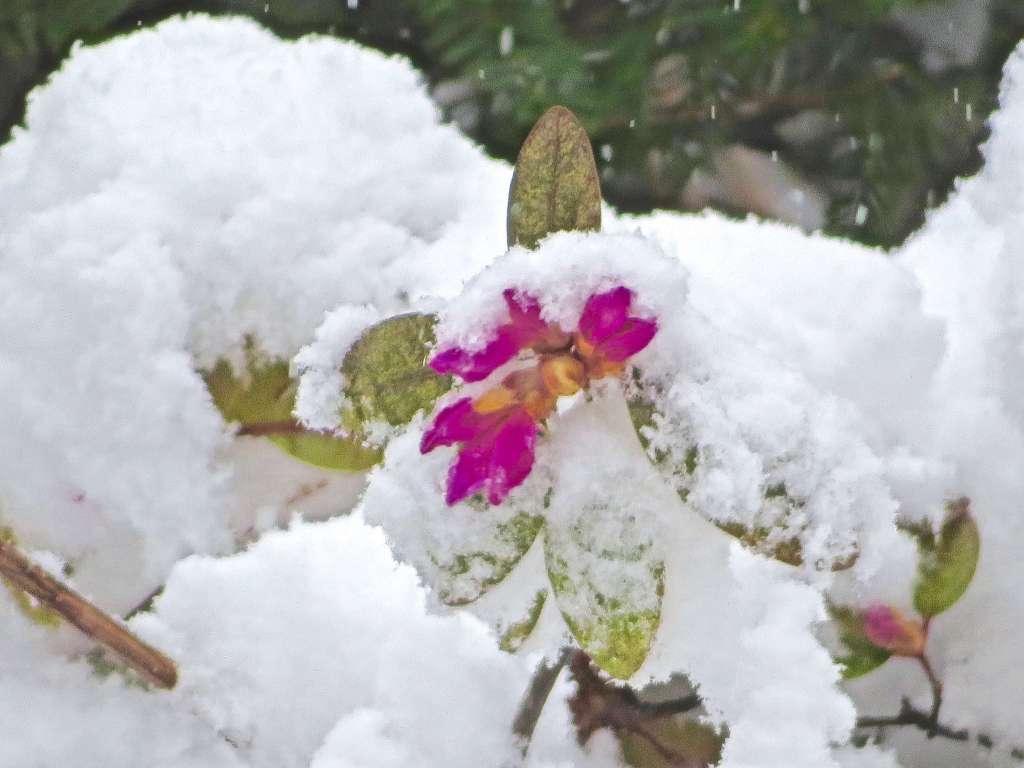 Yesterday's Spring snowstorm transformed my azalea bush.